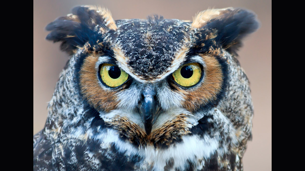 Great Horned Owl Heart Communicators A Sister Company Of Whale